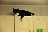 Sammy on top of the cabinets!