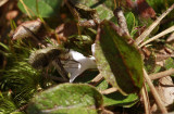 Epigaea repens-Trailing Arbutus with Bee fly