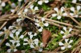 Pyxidanthera barbulata- Pyxie