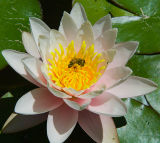 Lotus Blossom and the Bee.jpg