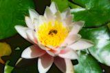 Lotus Blossom and Bee Orton Technique.jpg
