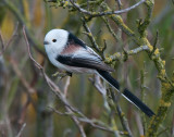 Long-Tailed Tit ( Stjärtmes )