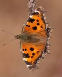 Butterflyes ( Fjärilar )