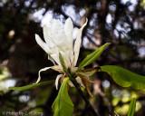 Umbrella Magnolia Flower