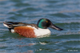 Northern Shoveler Duck (M)