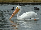 White Pelicans and Canadian Geese - 2012