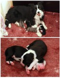 Bettys pups  1 and a half days old