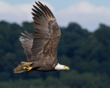 Sun Drenched Eagle with Fish