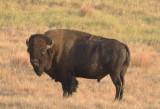 Bison Portrait in Profile