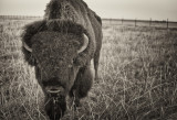 Bison Encounter in Black and White
