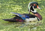 Portrait of a Wood Duck Drake