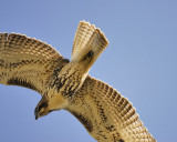 red-tailed hawk BRD6570.JPG