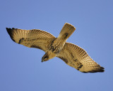red-tailed hawk BRD6579.JPG