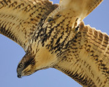 red-tailed hawk BRD6571a.JPG