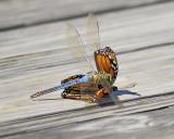 dragonfly monarch BRD7236.JPG