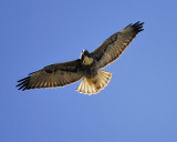 white-tailed hawk BRD9437.JPG