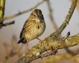 1670j_lincolns_sparrow