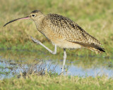 long-billed curlew BRD0465.JPG