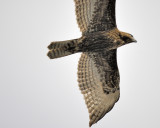 red-tailed hawk BRD2512.JPG