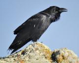 1570d_common_raven