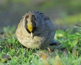 1670p_golden_crowned_sparrow