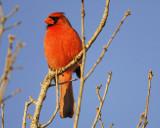 1690a_northern_cardinal