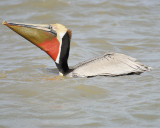 1050b_brown_pelican