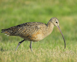 long-billed curlew BRD4251.JPG