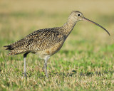 long-billed curlew BRD4269.JPG