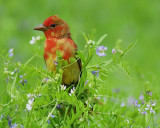 1650b_summer_tanager