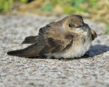 rough-winged swallow BRD6633.JPG