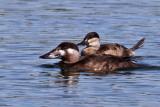 IMG_6458 Surf Scoter - Ruddy Duck.jpg