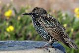 IMG_6740 European Starling winter adult.jpg