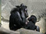 IMG_3025 Chimps.jpg