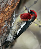IMG_9613a Red-breasted Sapsucker.jpg