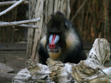 IMG_8929 Baboon.jpg