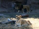 IMG_8705 Lions.jpg