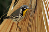 IMG_0642 Yellow-throated Warbler.jpg