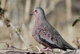 IMG_4063 Common Ground Dove - male.jpg