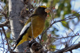 IMG_3615 Evening Grosbeak male.jpg