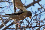 IMG_3668 Evening Grosbeak female.jpg