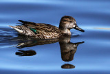 IMG_6031 Green-winged Teal female.jpg
