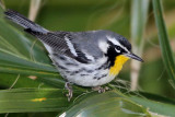 IMG_7092 Yellow-throated Warbler male.jpg