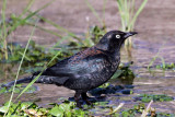 IMG_7647 Rusty Blackbird.jpg