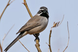 IMG_0095 Black-throated Sparrow.jpg