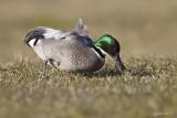Bronskopeend/Falcated duck