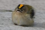Goldcrest (Regulus regulus) - kungsfågel