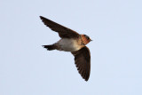 American Cliff Swallow (Petrochelidon pyrrhonota) - stensvala