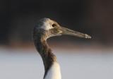 Red-crowned Crane (Grus japonensis) - japansk trana