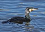 Great Cormorant (Phalacrocorax carbo sinensis) - storskarv